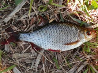 Рыбалка красноперки летом