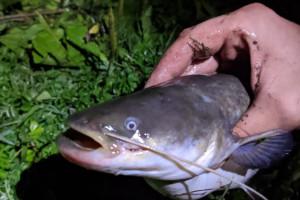Ночная ловля сома: готовимся к рыбалке на «усатого»