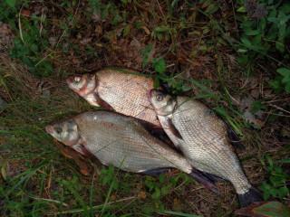 Результаты ночной рыбалки на леща